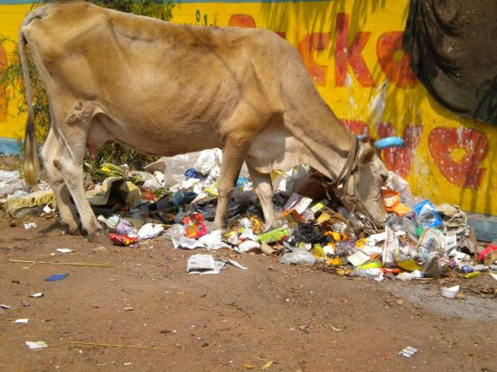 Cow Eating Trash02